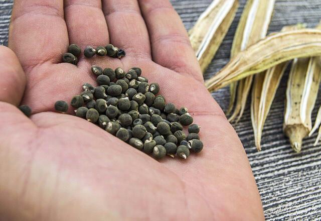 Bamya tohumunun faydaları nelerdir Bamya tohumu kolajen içerir mi Bamya tohumu nasıl kullanılır