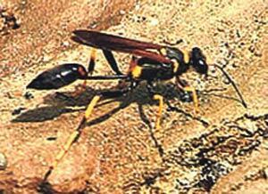 Çamur eşekarısı, yumurta ve örümcek