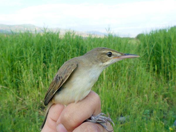 Türkiyenin en yeni kuş türü Iğdırda kayıt altına alındı