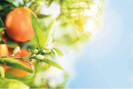 Portakal çiçeğinin izinde