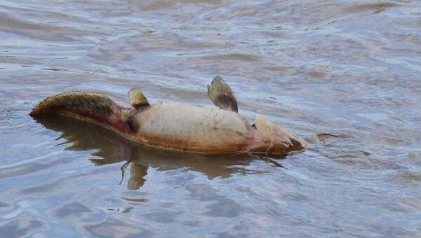 Ölü yayın ve sazanlar kıyıya vurdu