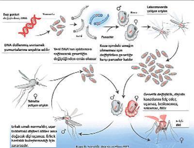 Genetiği değiştirilmiş sivrisinek salgına karşı