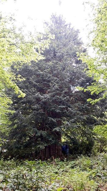 Dünyanın en büyük ağaçlarından Zonguldak'ta bulundu