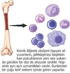 Vücudun koruma sistemi: LENF
