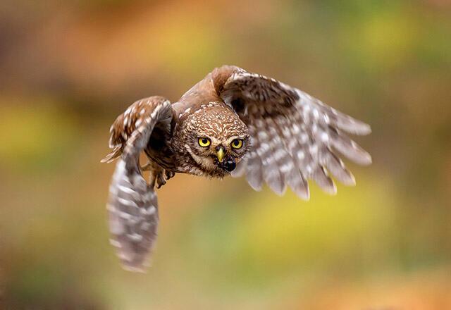 Kukumav kuşu hangi kuş türüdür ve özellikleri nelerdir