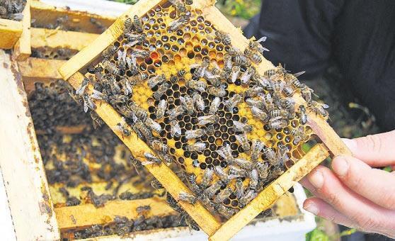 Kafkas arısının zafer öyküsü