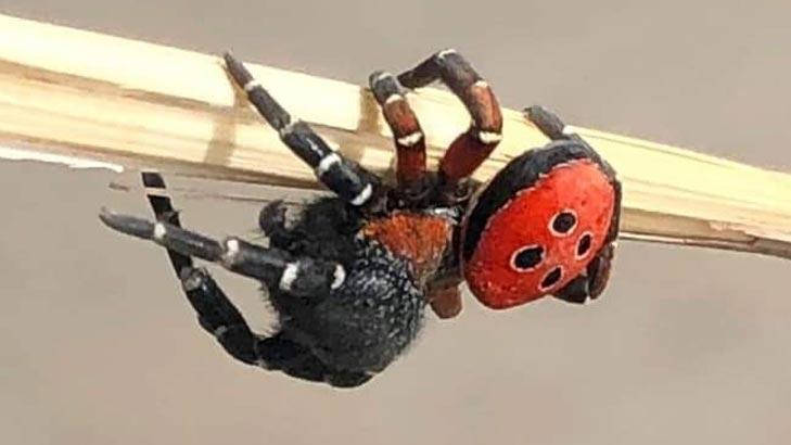 Zehirli uğur böceği örümceği Bilecik'te görüldü!
