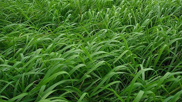 ayrik otu bitkisi nasil kullanilir
