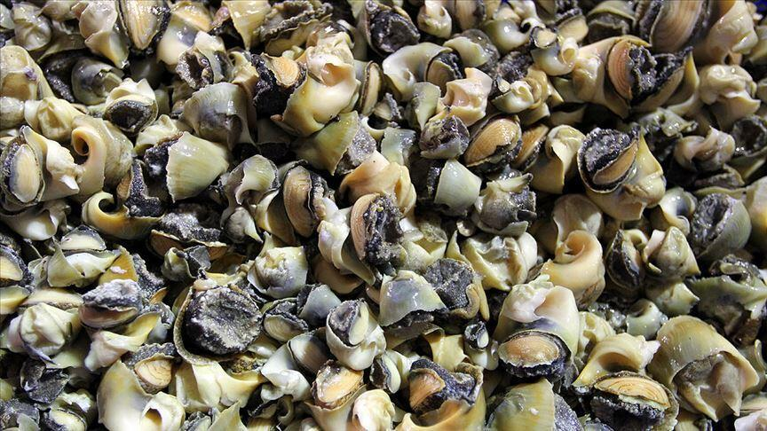1,6 milyon dolarlık deniz salyangozu ihracatı yapıldı