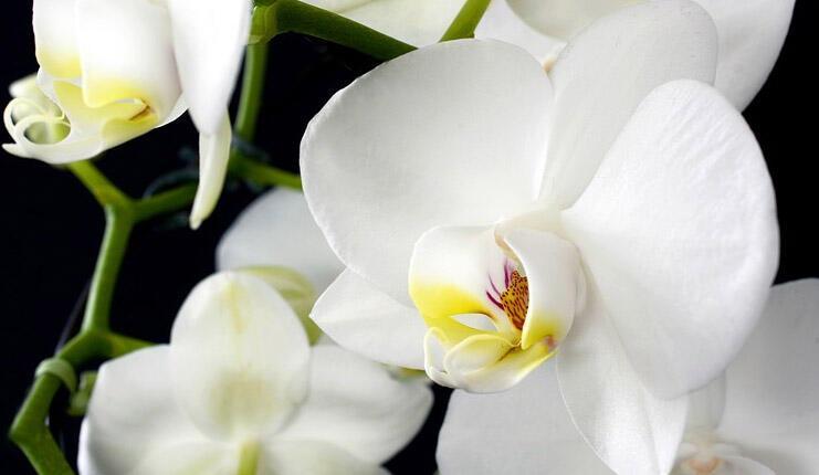 Orkide Nasıl Çoğaltılır? Evde Bakılan Orkide Çiçeği Nasıl Çoğaltılır? thumbnail