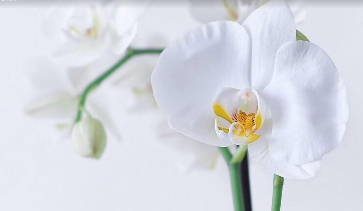 Orkide Nasıl Sulanır? Orkide Kaç Günde Bir Sulanmalıdır? thumbnail