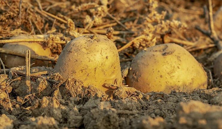 Patates Nasıl Ekilir? Evde Patates Nasıl Yetiştirilir, Ne Zaman Ekilmelidir? thumbnail