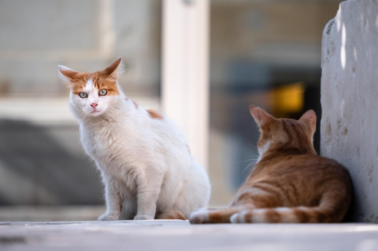 Kedi Türleri Nelerdir? Kedi Cinsleri ve Özellikleri thumbnail