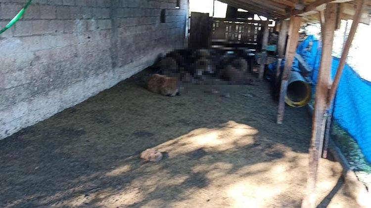 Erzurum'da ağıla giren kurtlar 40 koyunu telef etti