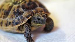 Kaplumbağa Yavrusu Görmek