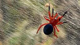 Avustralya'da örümcek istilası! Bir bölgeyi daha esir aldı