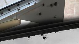 İstanbul'da 'kokarca böceği' kabusu! Evleri istila ettiler