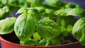 Evinizi böceklerden uzaklaştıracak 5 bitki