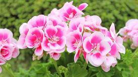 Bahçenizi kıştan yaza hazırlayın: 6 yaz çiçeği
