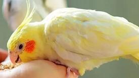 Sultan Papağanı Ne Yer, Nasıl Beslenir? Sultan Papağanlarının Sevdiği Besinler Nelerdir?