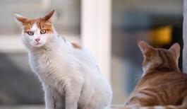 Kediler Kaç Ayda (Kaç Günde) Doğurur? Kedilerde Hamilelik Belirtileri