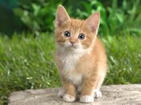 Kedilerin Kaç Parmağı Ve Kaç Dişleri Vardır? Kediler Hakkında Merak Edilenler