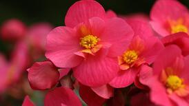 Ev içinde yetişebilen çiçekler