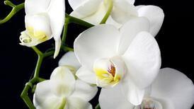 Yılbaşı hediyesi orkide