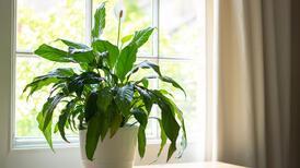 Alerjiye iyi gelen ve evin havasını temizleyen 12 bitki