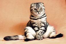 Kedilerin Tüylerinin Dökülmesi Nasıl Engellenir? Kedilerin Tüy Dökmesi Önlenebilir Mi?
