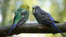 Muhabbet Kuşu Tırnağı Nasıl Kesilir? Nelere Dikkat Edilmelidir?