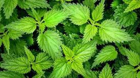 İdrar yolu enfeksiyonuna faydalı 10 bitki