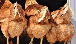 Tavuk Gübresinin Faydaları Nelerdir?