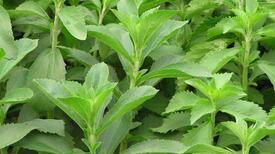 Hayatımıza giren doğal tatlandırıcı: Stevia