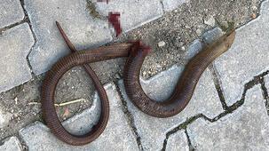 Yer: Tekirdağ! Yılan sandılar, tam 1,5 metre... Otomobilden çıktı!
