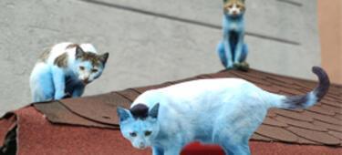 Küçükçekmece'de kedilerin rengi maviye döndü