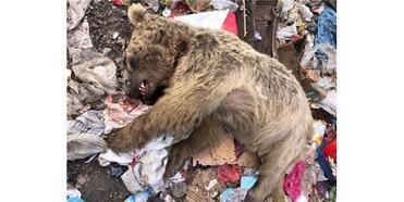 Ardahan'da Boz Ayı Öldürüldü
