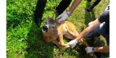 Yavru Karaca, Köpek Saldırısından Kurtarıldı