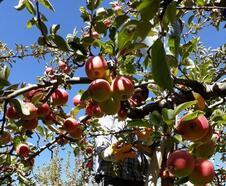 Çamardı Ziraat Odası Başkanı Çınar: Elma çiftçinin yüzünü güldürdü