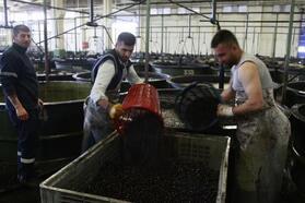 Zeytin alımları 3 bin tonu geçti