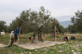 Orhangazi'de 2 ayda 95 kişi zeytin ağacından düştü