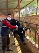 Salihli'de 40 bin büyükbaş hayvan aşılanacak