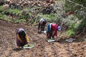 Mardin'de Adaçayı ekimine başlandı