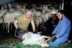Yenişehir'de koyun kırkımına başlandı