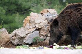 Bodrum'da yaban domuzu önlemi