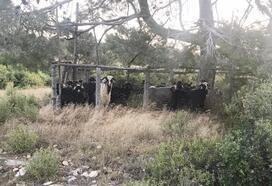 Mersin'den çalınan 5 keçi, Karaman'a götürülerek kesildi