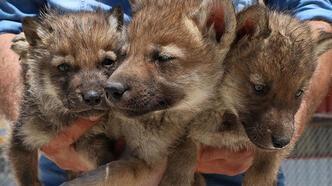 Son dakika: Van'da anneleri öldürülen yavru kurtlar, Gaziantep'e gönderilecek