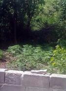 Evin bahçesinde ekili kenevir ele geçirildi