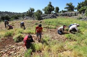 Gülnar'da sezonun ilk yeşil mercimek hasadı yapıldı