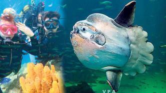 Saros'ta 700 kiloluk 'Mola Mola' sürprizi